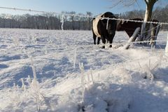 Some cows in the snow. This is a photo make in the middle of the Netherlands with cows in the snow stock image