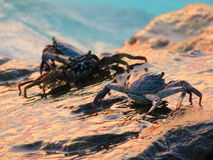 Some crabs on the rocks. View of some crabs on the rocks, during the sunset in Maldives stock photo