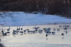Cranes in River. Some Cranes in a River in the Winter stock photo