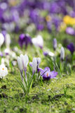 Some crocuses on the meadow. Some purple crocuses on the meadow in sunny spring day Royalty Free Stock Photos