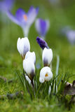 Some crocuses on the meadow. Some purple crocuses on the meadow in sunny spring day Stock Photo