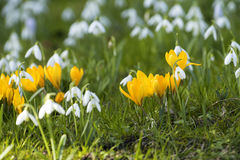 Some crocuses and snowdrops. Some colorful crocuses and snowdrops in the grass in the spring Stock Photography