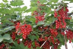 Some currants on a currant-shrub royalty free stock photos