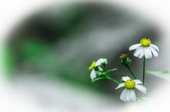 Some daisies. In close-up, evanescence's concept Stock Image