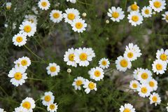 Some daisies on the moutain stock photography