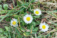 Some daisy flowers on grass in early spring time.  Royalty Free Stock Images