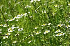 Some daisy flowers. In high grass, spring or summer season royalty free stock images