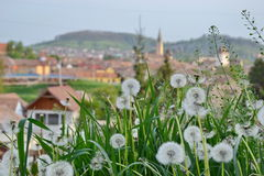 Some dandelion Royalty Free Stock Images