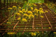 Some dandelion between iron railings. Many lion´s tooth between iron railings, nature and civilisation Stock Images