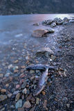 Some dead fish along the rocky shore. Dead fish in the foreground of a landscape image on Pend Oreille Lake in Idaho stock photos