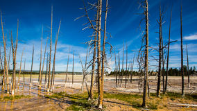 Dead pines in yellowstone park. Some dead pine trees in Yellowstone park under blue sky and white cloud stock photography