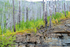 Some of the dead pines of Yellowstone with green and yellow small trees. Royalty Free Stock Images