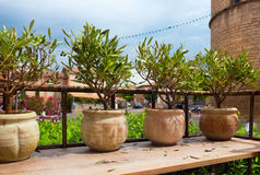 Some decorative olive trees. Little decorative olive tree in France royalty free stock photos