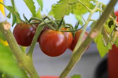 Some delicious red cherry tomatoes. On the green plant Royalty Free Stock Images