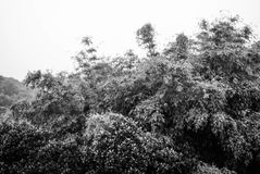 Some dense trees in the moutain. It's some dense trees in the moutain royalty free stock image