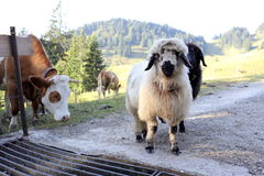 Some different animals. In the bavarian mountains royalty free stock photo