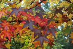 Some autumn leaves. Some different autumn leaves on a tree Royalty Free Stock Image