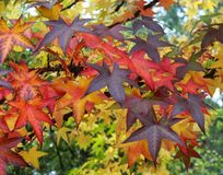 Some autumn leaves. Some different autumn leaves on a tree Royalty Free Stock Photo