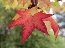 Some autumn leaves. Some different autumn leaves on a tree Stock Image