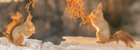 Some distance. Red squirrels standing on ice under a branch facing each other Royalty Free Stock Photos