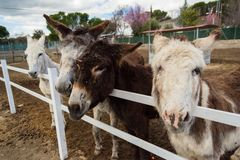 Some donkeys waiting for food and one of them requesting it to me royalty free stock images