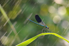 Some dragonfly wings are glowing beautiful blue glow in the summer day Stock Photo