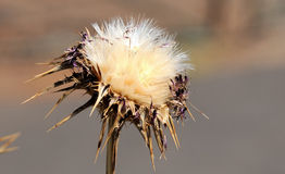 Some Dried Flowers. With Thorns in the Desert stock photography