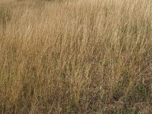 Some dried grass. On a field royalty free stock photo