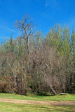 SOME DRIED VEGETATION IN PARK. Dried up tree with green trees in park Stock Images