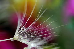 Some drops macrooh the flower. Some drops macro insec ton flower Stock Photo