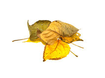Some dry autumn leaves of a tree. Isolated on a white background Royalty Free Stock Image