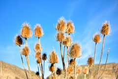 some dry brown flowers of a plant called teasel, dipsacus fullonum in latin, in a garden with a landscape and a blue sky at the stock images