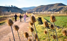 some dry brown flowers of a plant called teasel, dipsacus fullonum in latin, in the pathway of a sand way that three persons are stock photography
