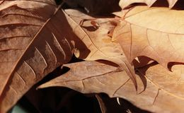 Dry leaves. Some dry fallen leaves. Autumn in Barcelona Stock Photos