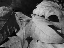 Dry leaves. Some dry fallen leaves. Autumn in Barcelona Royalty Free Stock Image