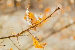 Some dry yellow oak leaves lit with the sun on a thin branch in Royalty Free Stock Image