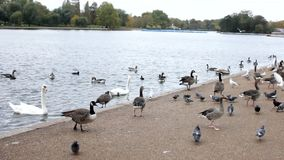 Some ducks, birds and gooses at london park stock video