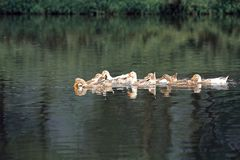 Some ducks on a lake. Some ducks are swimming on a lake, full of vigor, looking for fish in summer Stock Images