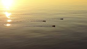 Some ducks on lake in sunny evening stock video footage