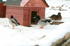 Some ducks with little building in winter. Some ducks with little building standing on the snow in winter Stock Photo