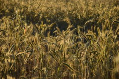 Some ears brightly lit. Some ears in the field brightly lit by the evening sun Royalty Free Stock Photography