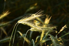 Some ears brightly lit. Some ears in the field brightly lit by the evening sun Stock Photos