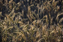Some ears brightly lit. Some ears in the field brightly lit by the evening sun Royalty Free Stock Photo