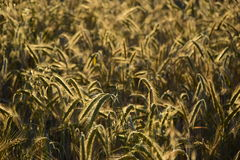 Some ears brightly lit. Some ears in the field brightly lit by the evening sun Stock Image