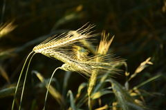 Some ears brightly lit. Some ears in the field brightly lit by the evening sun Royalty Free Stock Image