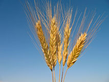 Some ears of rye. Some ears of a rye against the blue sky royalty free stock image