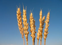 Some ears of wheat Stock Photos