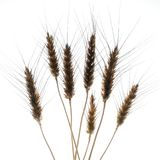 Ears of wheat. Some ears of wheat in backlight with a white background Royalty Free Stock Photo