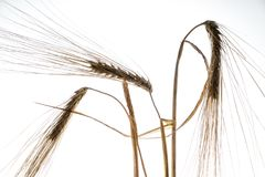 Ears of wheat. Some ears of wheat in backlight with a white background Stock Images