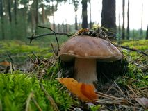 Mushrooms in forest Stock Images